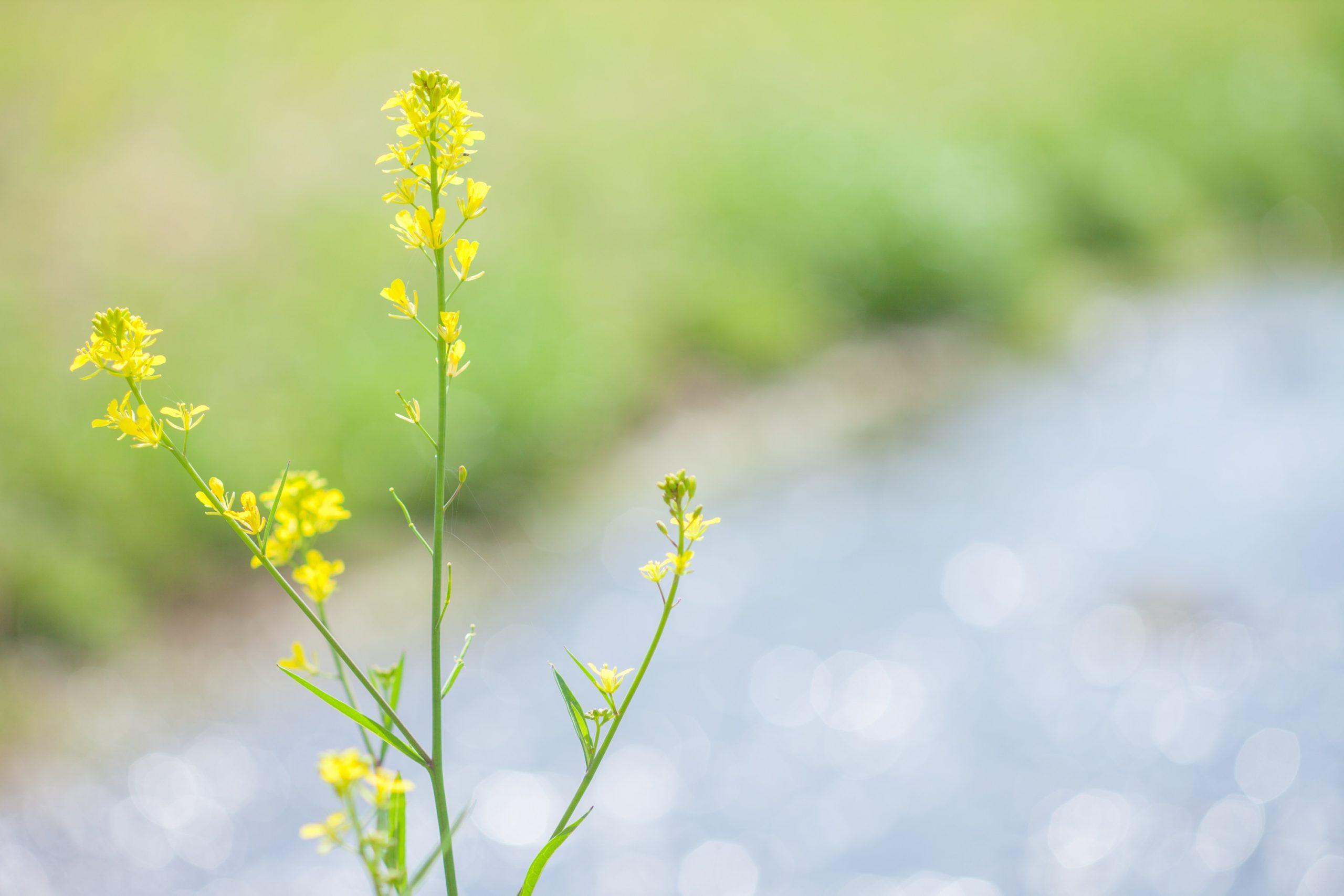 春の嘉麻川